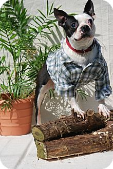 Boston Terrier Dog for adoption in Harrodsburg, Kentucky - Zorro