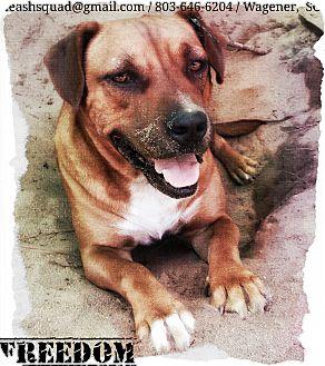 American Pit Bull Terrier/Labrador Retriever Mix Dog for adoption in Graniteville, South Carolina - Freedom