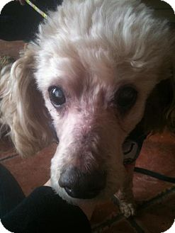 Poodle (Miniature) Dog for adoption in Indianapolis, Indiana - Benji