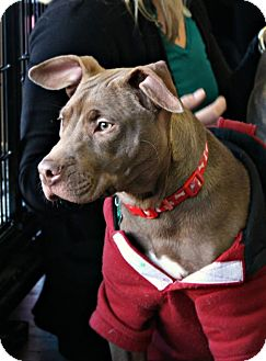 American Pit Bull Terrier Mix Puppy for adoption in Baltimore, Maryland - Maddie