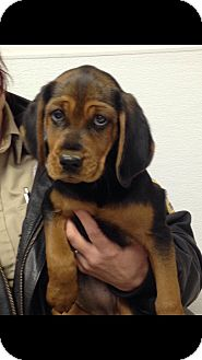 Coonhound Mix Puppy for adoption in Hopewell, Virginia - Bell
