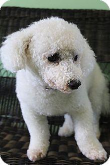 Bichon Frise Dog for adoption in Hagerstown, Maryland - Casper