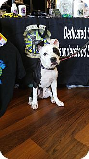 Pit Bull Terrier/Terrier (Unknown Type, Medium) Mix Puppy for adoption in Southampton, Pennsylvania - LuLu