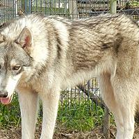 Adopt A Pet :: Wolfdog - Stormy - Orlando, FL