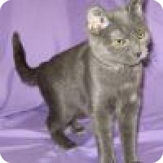 Domestic Shorthair Cat for adoption in Powell, Ohio - Sashimi