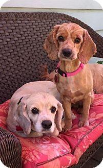 Cocker Spaniel Dog for adoption in Sacramento, California - Jorgia and Jayden