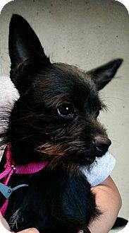 Miniature Schnauzer/Chihuahua Mix Dog for adoption in Macomb, Illinois - Glory