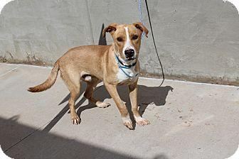 Labrador Retriever Mix Dog for adoption in Odessa, Texas - A14 EMERSON