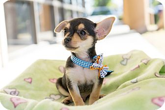 Chihuahua/Terrier (Unknown Type, Small) Mix Puppy for adoption in Montclair, California - Stanley