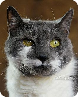 Domestic Shorthair Cat for adoption in Bloomfield, New Jersey - BONES