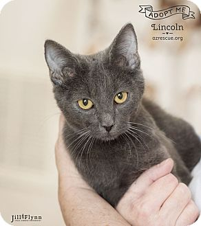 Russian Blue Kitten for adoption in Phoenix, Arizona - Lincoln