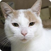 Adopt A Pet :: Saint Purrtrick - Chicago, IL