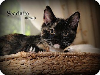 Domestic Shorthair Kitten for adoption in Glen Mills, Pennsylvania - Scarlette