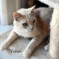 Domestic Shorthair Cat for adoption in Sarasota, Florida - Yolan