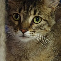 Domestic Mediumhair Cat for adoption in Nashville, Indiana - Charlise