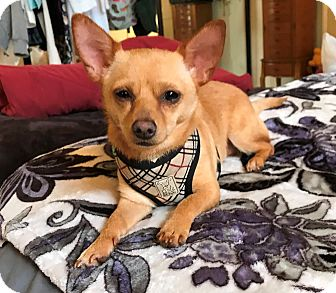 Chihuahua Mix Dog for adoption in San Diego, California - Taco