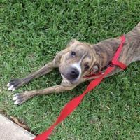 Adopt A Pet :: Tiger - Garland, TX