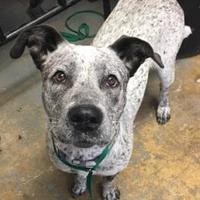 Adopt A Pet :: Willow($65) - Brownwood, TX