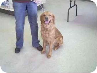 Golden Retriever Dog for adoption in Higginsville, Missouri - Unknown