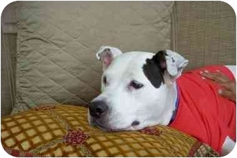Pit Bull Terrier Dog for adoption in Coral Springs, Florida - Blanca
