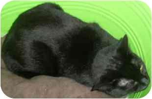 Domestic Shorthair Cat for adoption in Medford, Massachusetts - Marlo