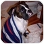 Photo 4 - Boxer Puppy for adoption in Sunderland, Massachusetts - CAPTAIN