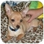 Photo 2 - Chihuahua Puppy for adoption in Troy, Michigan - Jack