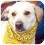 Photo 4 - Labrador Retriever Dog for adoption in Wakefield, Rhode Island - BAILEY