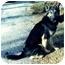 Photo 1 - German Shepherd Dog Dog for adoption in Baldwin, New York - JAXX