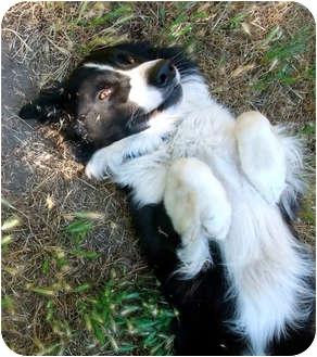 Border Collie Dog for adoption in San Pedro, California - CHARLEY