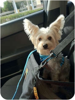 Yorkie, Yorkshire Terrier Mix Dog for adoption in Tallahassee, Florida - Quincy