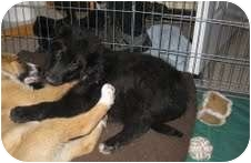Border Collie Mix Puppy for adoption in Okotoks, Alberta - Logan