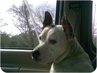 Great Dane/Dalmatian Mix Dog for adoption in Jacksonville, Florida - Miranda