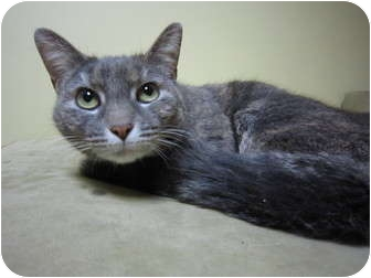 Domestic Shorthair Cat for adoption in Philadelphia, Pennsylvania - Sweety