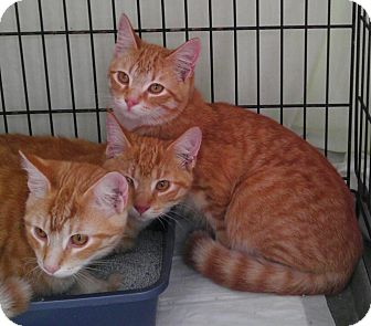 Domestic Shorthair Cat for adoption in Parkton, North Carolina - Orange Brothers