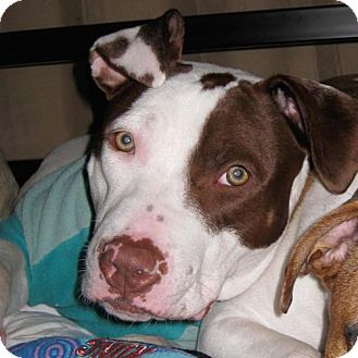 American Pit Bull Terrier Dog for adoption in Cary, Illinois - Jezebel