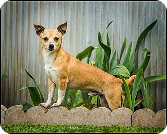 Chihuahua Dog for adoption in Owensboro, Kentucky - Romeo