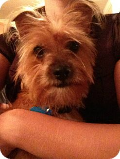 Yorkie, Yorkshire Terrier Mix Dog for adoption in Kimberton, Pennsylvania - Max