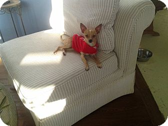 Chihuahua Dog for adoption in West Hartford, Connecticut - Chance- In CT