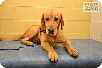 Labrador Retriever Mix Dog for adoption in Clarksville, Tennessee - Clifford - PENDING!