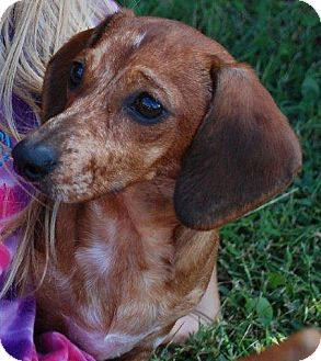 Dachshund Mix Puppy for adoption in Milford, Connecticut - Reesee - COURTESY POSTING