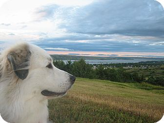 Great Pyrenees Dog for adoption in Boulder, Colorado - Roxy
