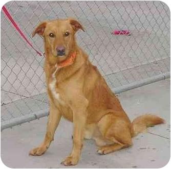 Golden Retriever Mix Dog for adoption in Austin, Minnesota - Baxter