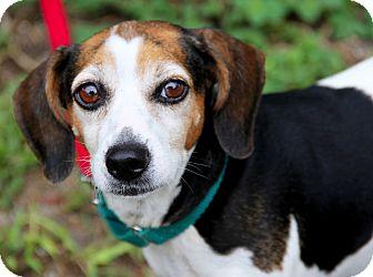 Beagle Mix Dog for adoption in Bradenton, Florida - Millie