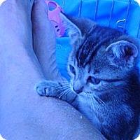 Adopt A Pet :: Tracy Ocicat - Columbus, OH