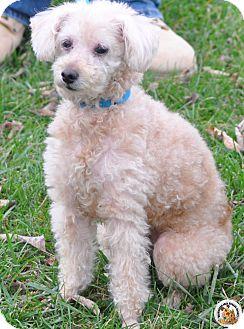 Poodle (Miniature) Dog for adoption in Eighty Four, Pennsylvania - Sugar