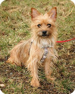 Yorkie, Yorkshire Terrier Mix Dog for adoption in Bellingham, Washington - DeeDee