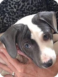 Hound (Unknown Type)/Corgi Mix Puppy for adoption in Marlton, New Jersey - Blue-eyed Clyde