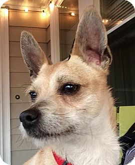Jack Russell Terrier/Chihuahua Mix Dog for adoption in Worcester, Massachusetts - Frasier