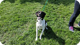 Border Collie/Labrador Retriever Mix Dog for adoption in Indianola, Iowa - Kadee